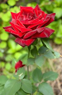 真っ赤に咲いた薔薇の写真素材 [FYI00219688]