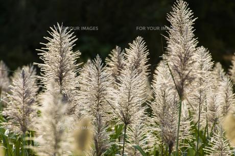 サトウキビ畑の写真素材 [FYI00219906]