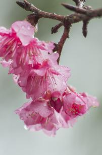 寒緋桜の素材 [FYI00219941]