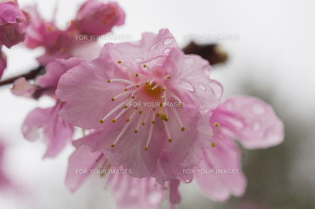 寒緋桜の素材 [FYI00219943]