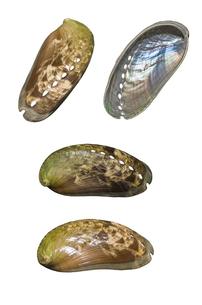 ミミガイの貝殻の写真素材 [FYI00219951]