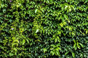 壁を覆うつる草の写真素材 [FYI00219961]