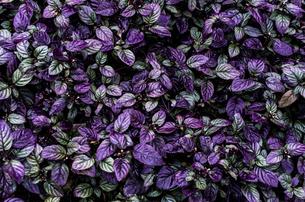 重なり合う紫の葉の素材 [FYI00219962]