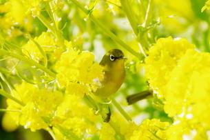 菜の花:メジロの写真素材 [FYI00220321]