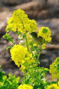 菜の花:メジロの写真素材 [FYI00220372]