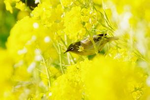菜の花:メジロの写真素材 [FYI00220384]