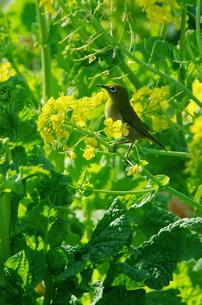 菜の花:メジロの写真素材 [FYI00220389]