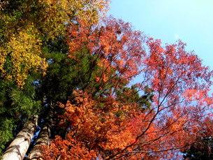 【丹沢:秋の風景】:紅葉:黄葉etc.の写真素材 [FYI00220439]