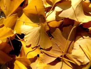 【丹沢:秋の風景】:紅葉:黄葉etc.の写真素材 [FYI00220446]
