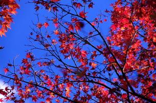 【丹沢:秋の風景】:紅葉:黄葉etc.の写真素材 [FYI00220448]