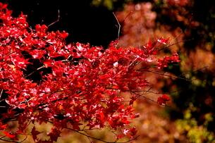 【丹沢:秋の風景】:紅葉:黄葉etc.の写真素材 [FYI00220472]