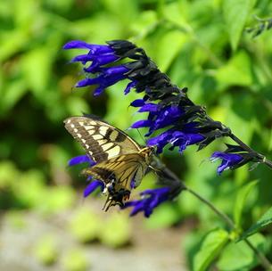 【里山の風景】:アゲハチョウの写真素材 [FYI00220513]