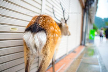鹿のお尻の写真素材 [FYI00220562]