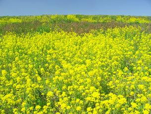 江戸川の菜の花の写真素材 [FYI00220610]