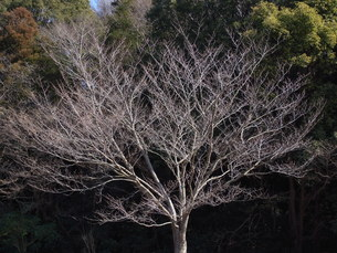 枯れ木の写真素材 [FYI00220690]