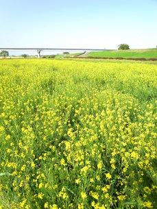 江戸川河川敷の菜の花の写真素材 [FYI00220801]
