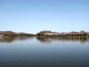 みさと公園桜遠景の写真素材 [FYI00220865]