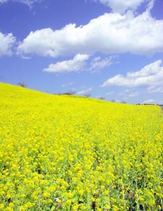 江戸川の菜の花の写真素材 [FYI00221057]