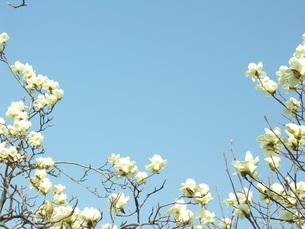 コブシに花の写真素材 [FYI00221156]