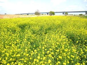 江戸川河川敷の菜の花の写真素材 [FYI00221185]