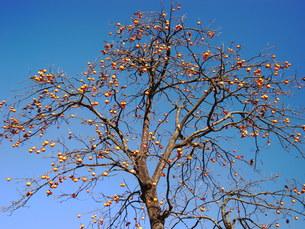 柿の木の写真素材 [FYI00221224]