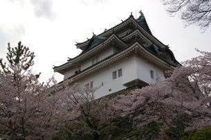 和歌山城と桜の写真素材 [FYI00221328]
