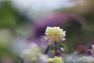 薔薇の写真素材 [FYI00221378]