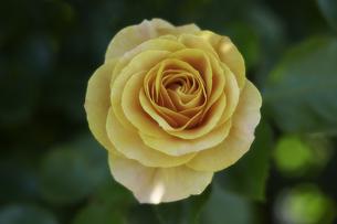 薔薇の写真素材 [FYI00221385]