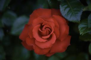 薔薇の写真素材 [FYI00221388]