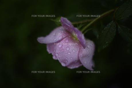 軽井沢レイクガーデン 雨の薔薇の素材 [FYI00221389]