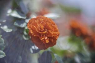 薔薇の写真素材 [FYI00221391]