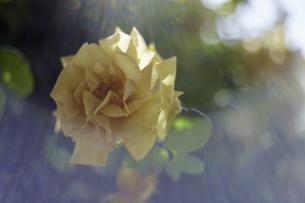 薔薇の写真素材 [FYI00221394]