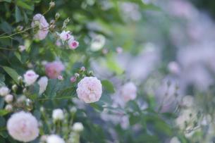 薔薇の写真素材 [FYI00221395]