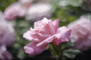 薔薇の写真素材 [FYI00221397]
