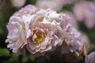 薔薇の写真素材 [FYI00221398]