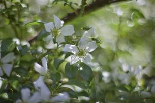 薔薇の写真素材 [FYI00221399]