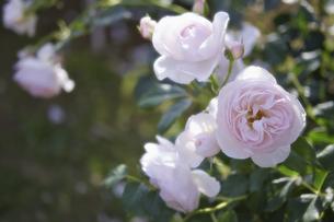薔薇の写真素材 [FYI00221401]