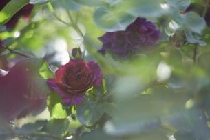 薔薇の写真素材 [FYI00221403]