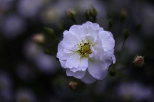 軽井沢レイクガーデン 薔薇の素材 [FYI00221404]