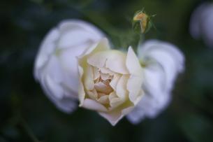 薔薇の写真素材 [FYI00221405]