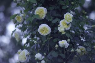 薔薇の写真素材 [FYI00221410]