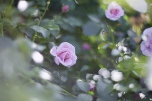 薔薇の写真素材 [FYI00221413]
