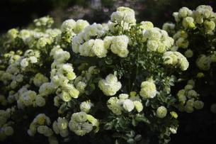 薔薇の写真素材 [FYI00221414]
