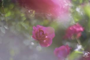 薔薇の写真素材 [FYI00221418]