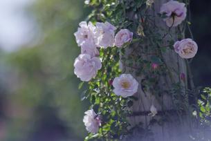 薔薇の写真素材 [FYI00221419]
