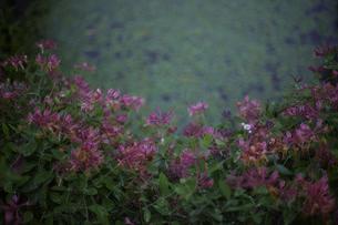 軽井沢レイクガーデン 睡蓮の池の写真素材 [FYI00221420]