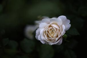 軽井沢レイクガーデン 薔薇の素材 [FYI00221422]