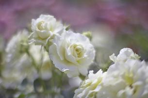 薔薇の写真素材 [FYI00221426]