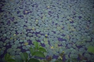 軽井沢レイクガーデン 睡蓮の池の素材 [FYI00221429]