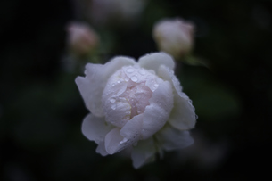 軽井沢レイクガーデン 薔薇の素材 [FYI00221430]
